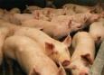 Комбикорма для свиней, кроликов.. – «Ачинский зерноперерабатывающий комбинат»,  Россия