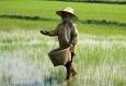Рис способен вызывать генетические нарушения у людей