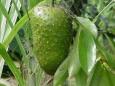 Гуанабана или плод дерева гравиола и почему мы ничего не знаем о фрукте который лечит рак?