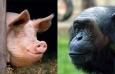 Homo sapiens стал плодом любви свиньи и обезьяны - установили генетики США