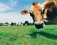 Каждая вторая ввезенная корова в Россию - американка