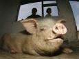 Лечения диабета в России путем  скрещивания людей  со свиньями