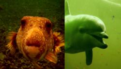 Дельфины используют яд рыб в качестве наркотиков